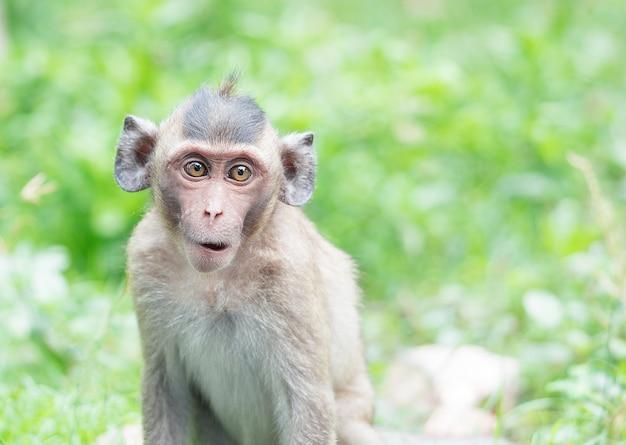 Le scimmie marroni si stanno alimentando in bocca