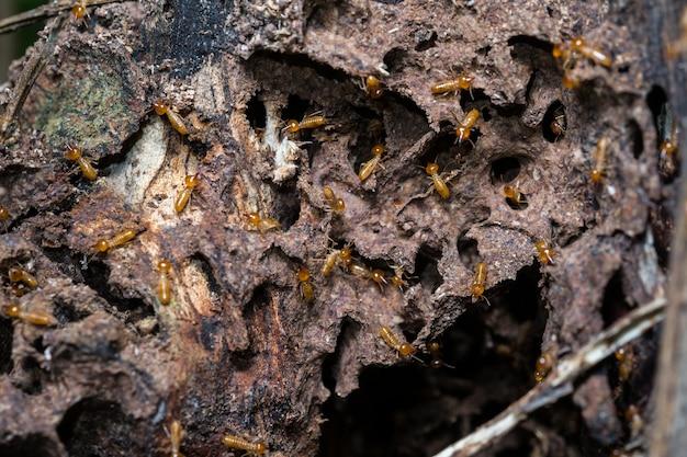 Le termiti sono nel nido.