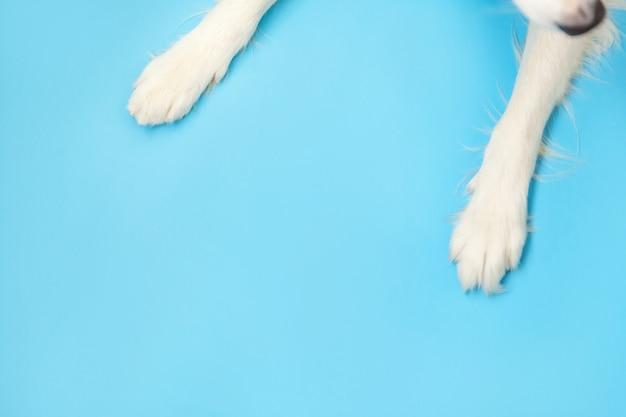 Le zampe di border collie si chiudono su isolato su fondo blu