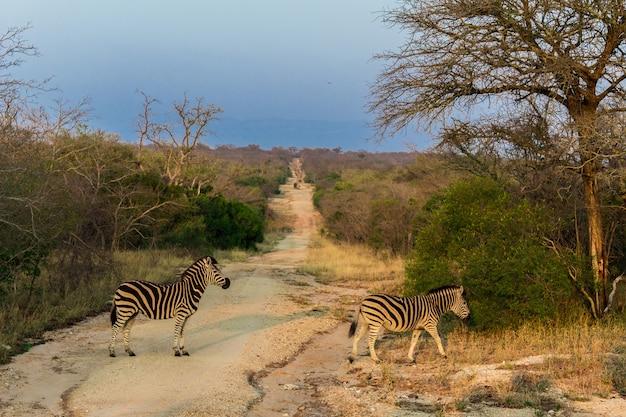 Le zebre stanno attraversando un sentiero nella riserva naturale di kruger in un safari in africa.