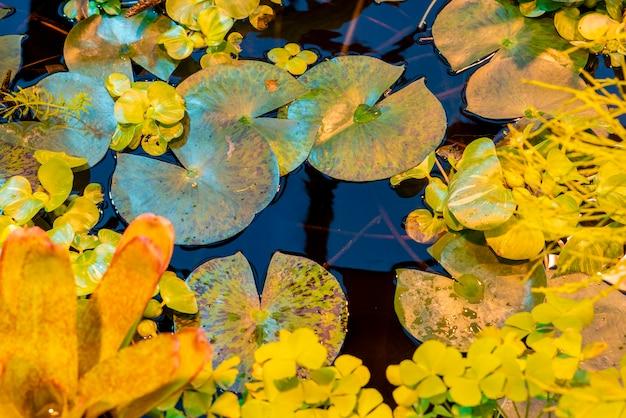 Leas o water lilly victoria cruziana sulla superficie tropicale dell'acqua dello stagno