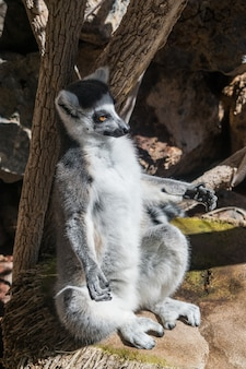 Lemure catta (lemur catta)