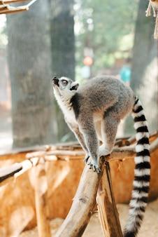 Lemure dalla coda ad anelli che stanno sul ramo di albero che osserva in su