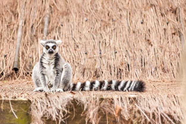 Forma lemure scaricare icone gratis