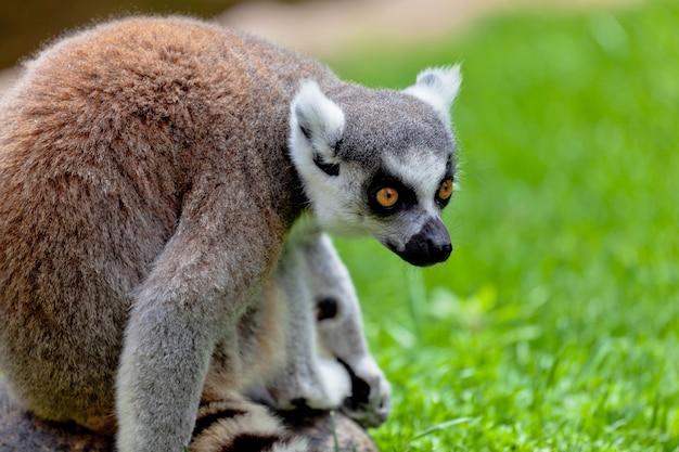 Lemure di coda a forma di anello, lemur catta