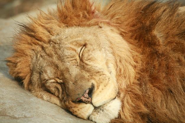 Leone addormentato