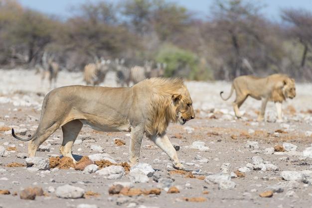 Leone con zebre sfocato sullo sfondo. safari della fauna selvatica nel parco nazionale di etosha, namibia, africa.