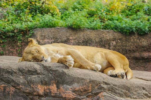 Leone femminile selvaggio che si distende dormendo sulla pietra della roccia.