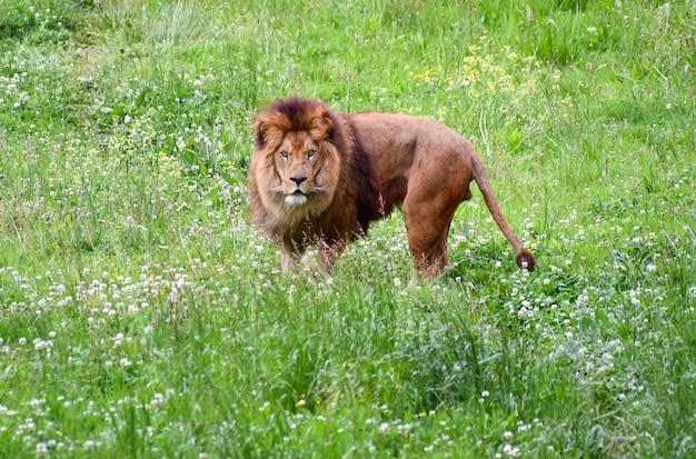 Leone in un ambiente naturale
