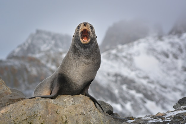 Leone marino antartico che protegge il suo territorio