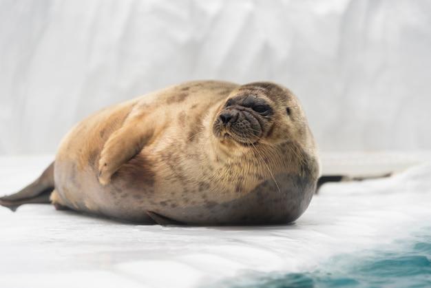 Leone marino che posa sul ghiaccio.