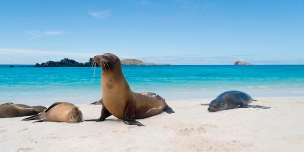 Leone marino delle galapagos (zalophus californianus wollebacki) crogiolarsi sulla spiaggia, gardner bay, espanola island, isole galapagos, ecuador