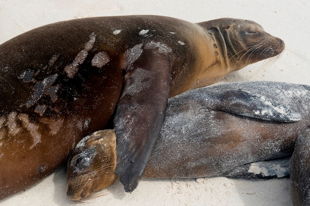 Leone marino delle galapagos (zalophus californianus wollebacki), gardner bay, isola di espanola, isole galapagos, ecuador