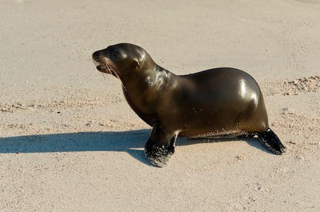 Leone marino sulla spiaggia, punta suarez, isola di espanola, isole galapagos, ecuador