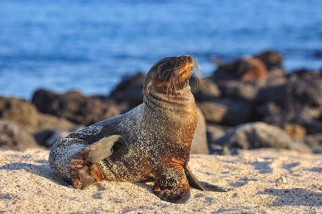 Leone marino sulla spiaggia