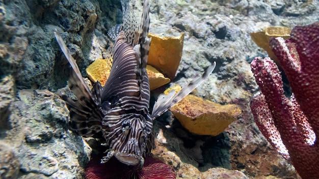 Leone rosso pesce vita animale selvatico sopra la barriera corallina (pterois volitans).