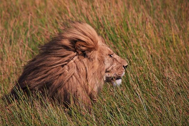 Leone su safari in kenia e tanzania, africa
