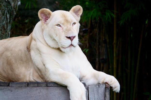 Leonessa bianca allo zoo aperto di khao kheow, pattaya tailandia