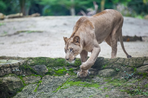 Leonessa panthera leo che cammina nello zoo