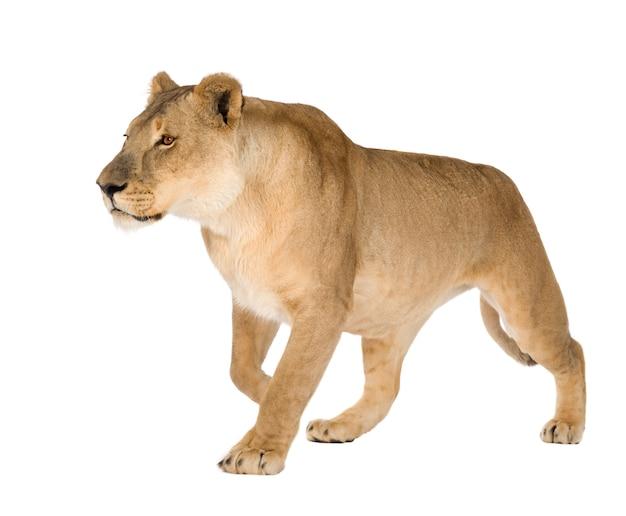 Leonessa, panthera leo su un bianco isolato