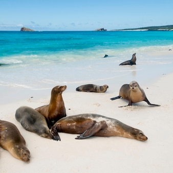 Leoni marini delle galapagos (zalophus californianus wollebacki), gardner bay, espanola island, isole galapagos, ecuador