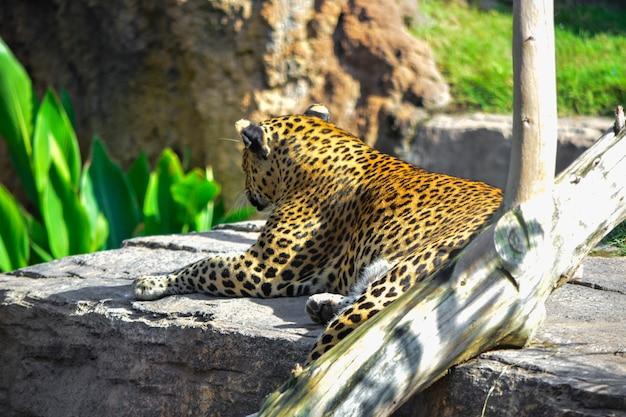 Leopardo che guarda da una roccia