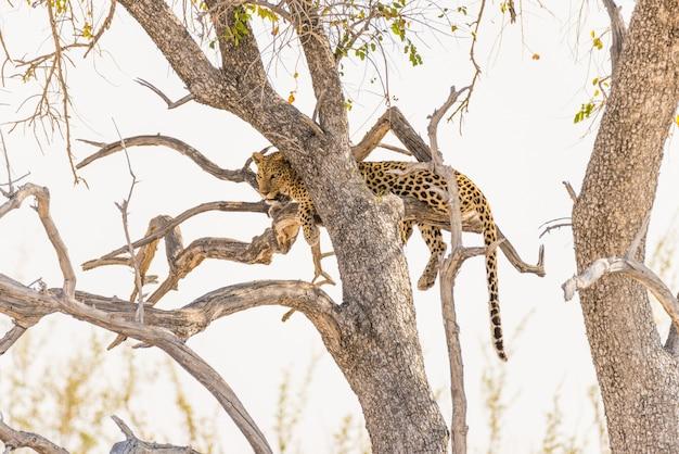 Leopardo che si appollaia dal ramo di albero dell'acacia contro il cielo bianco. safari della fauna selvatica nel parco nazionale di etosha, principale destinazione di viaggio in namibia, africa.