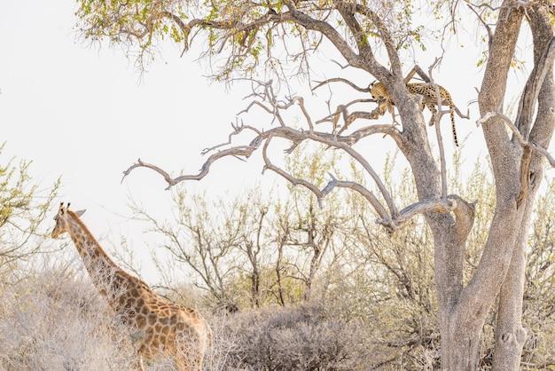 Leopardo che si appollaia sul ramo di albero dell'acacia contro il cielo bianco. giraffa che cammina indisturbata. safari della fauna selvatica nel parco nazionale di etosha, principale destinazione di viaggio in namibia, africa.
