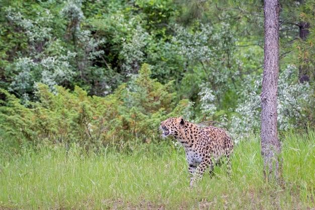 Leopardo dell'amur in pericolo di estinzione che si aggira nell'erba alta