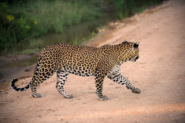 Leopardo dello sri lanka al parco nazionale di yala