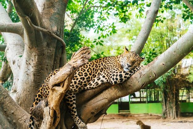 Leopardo sdraiato sul legno