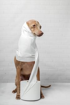 Levriero italiano cane giocando con rotoli di carta igienica