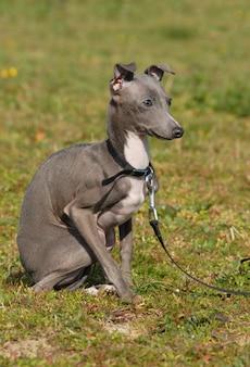 Levriero italiano di razza cucciolo