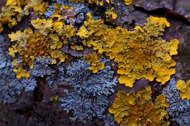 Lichene giallo e blu su un tronco d'albero. avvicinamento