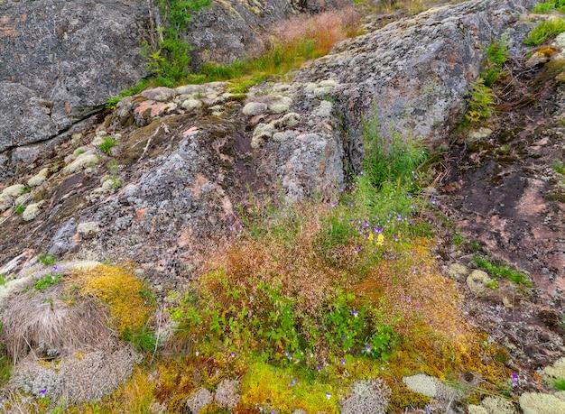 Lichene sulla superficie del granito. natura settentrionale.