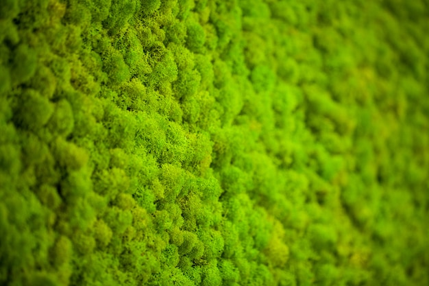 Lichene verde, sfondo muro di muschio