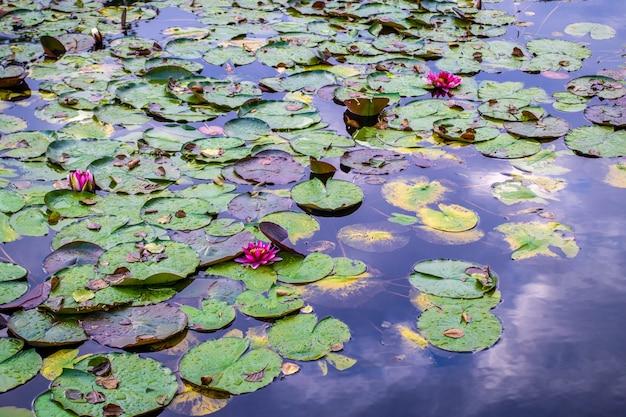Lily in stagno. costa fluviale con pianta. rosa waterlily nel lago.