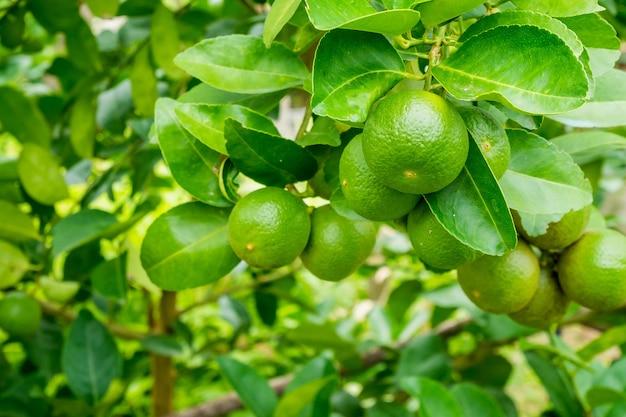 Limette fresche di limone verde sull'albero nel giardino biologico