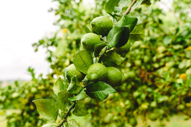 Limoni verdi che pendono dall'albero di limone in una giornata piovosa.
