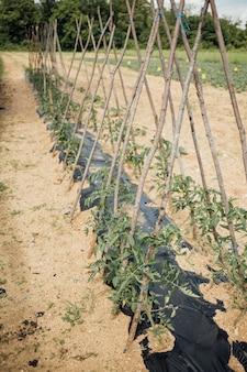 Linea del primo piano di pomodori che crescono nel campo