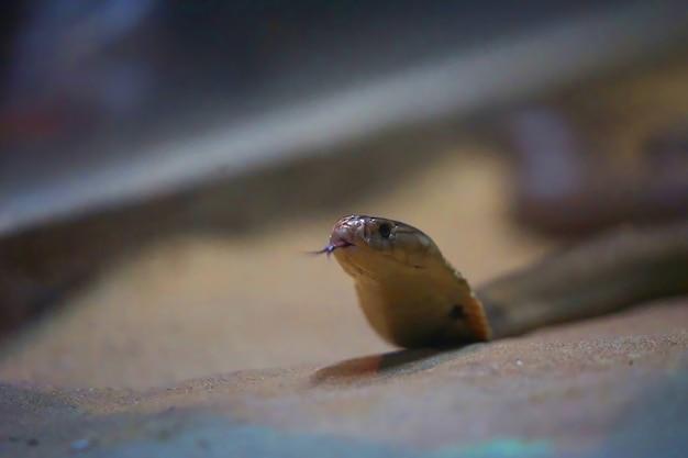 Lingua della lancia di manifestazione del serpente della cobra sul pavimento della sabbia con il fondo della sfuocatura