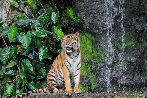 Lingua di spettacolo della tigre che cammina davanti alla mini cascata