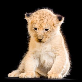 Lion cub (3 settimane) seduto