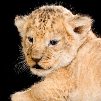 Lion cub isolato.