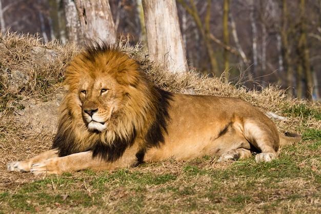 Lion il re
