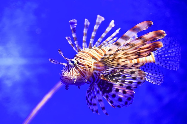 Lionfish all'acquario a bangkok