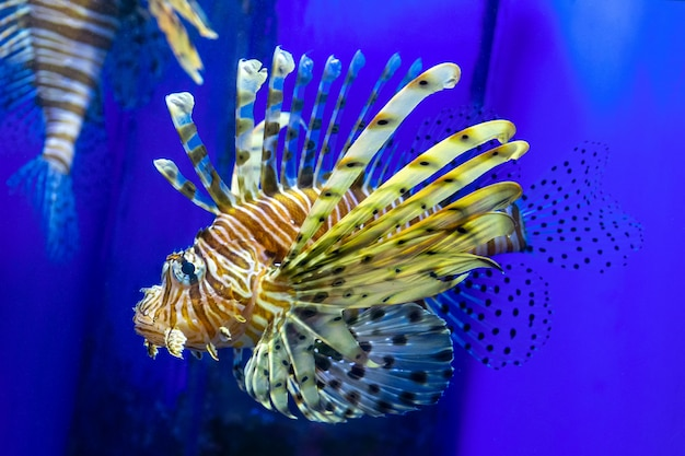 Lionfish con lo sprazzo di sole sull'azzurro