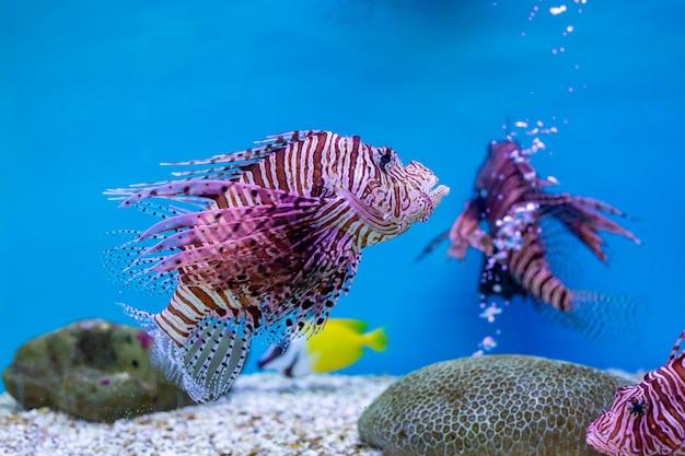 Lionfish rosso - uno dei pesci pericolosi della barriera corallina