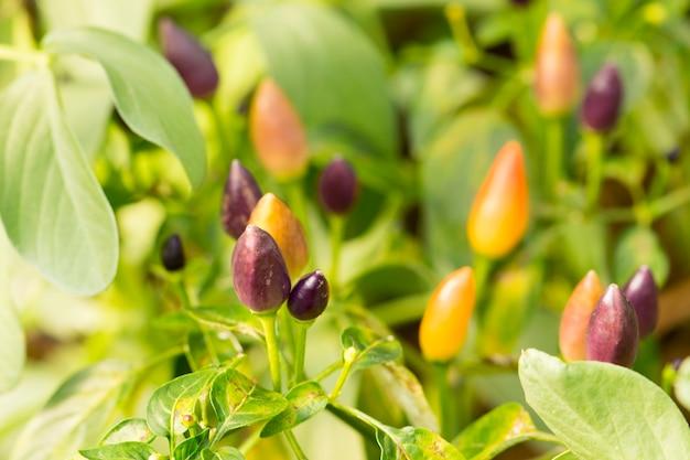 Little chile peppers su un ramo