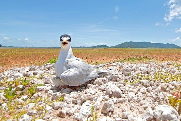 Little tern sternula albifrons beautiful birds of thailand